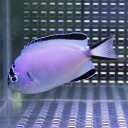 ヒレナガヤッコ メス 7-9cm± !海水魚 ヤッコ 餌付け済 15時までのご注文で当日発送【ヤッコ】