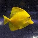 キイロハギ 6-8cm±! ハギ 海水魚 人工餌付け!15時までのご注文で当日発送【ハギ】