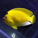 シテンヤッコ 成魚 8-10cm± !海水魚 ヤッコ 餌付け...