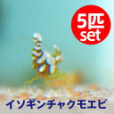 イソギンチャクモエビ 【5匹】 !約1-2cm± !【15時までのご注文で当日発送】海水魚 クマノミ【エビ】