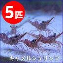 キャメルシュリンプ 【5匹】 約3-5cm±!15時までのご...