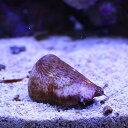 マガキ貝 水槽のコケ対策に! クリーナー 貝 【15時までのご注文で当日発送】【貝】