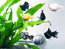(熱帯魚)バルーンモーリーミックス 【5匹セット】 生体...