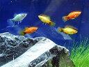 (熱帯魚) ミッキーマウスプラティ Mix 【10匹セット】 生体 水槽を彩ります