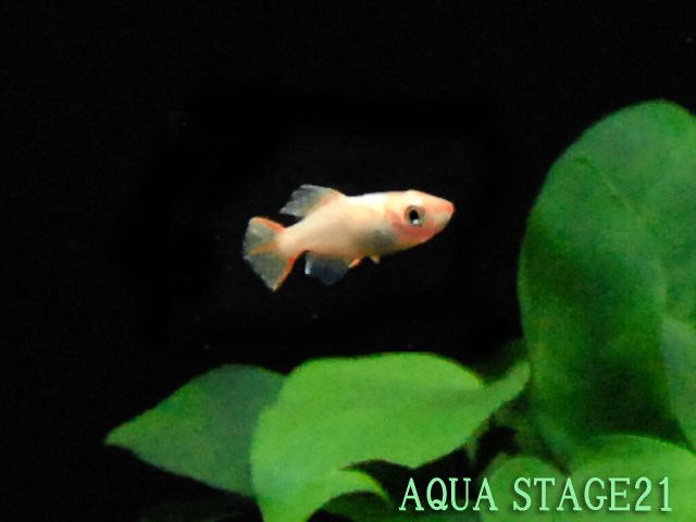 ... kind! * An eastern sky light killifish (around 3cm) five set
