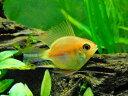 (熱帯魚) ゴールデンバルーンラミレジィ 【3匹セット】...