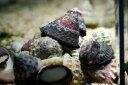 (コケ取り)シッタカ貝 5匹セット 熱帯魚・アクアリウム 貝 アクアテイラーズ