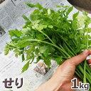 せり(芹)1kg予約販売【ご注文日:4/14出荷中】天然・セリまとめて1kg(大小バラ詰め)