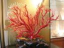 日本産血赤珊瑚<枝>拝見物【 3月 誕生石 珊瑚 さんご サンゴ コーラル sango coral 天然 本珊瑚 】