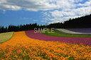 北海道 富良野 ファーム富田 花畑 2LW写真 2LW-257