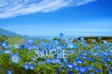 ネモフィラ 花 ひたち海浜 茨城 2LW写真 レビューを書いて【】【RCP】 2LW-36壁飾りやインテリアに美しい風景写真を。ディスプレイ 模様替え タペストリー 風景ポスターに