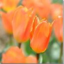 花 チューリップ 風景写真パネル キャンバス地 27.3×27.3cm HN-106-S3【楽ギフ_包装】壁掛け アート オリジナル インテリア お部屋の癒しの装飾に プレゼント ギフト