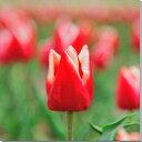 花 チューリップ 風景写真パネル キャンバス地 22.5×22.5cm HN-124-S1【楽ギフ_包装】壁飾りやインテリアに美しい植物の写真パネルを。インテリア ディスプレイ 模様替え タペストリー 風景ポスターに最適。新築祝い 引っ越し祝いプレゼントなどにも。