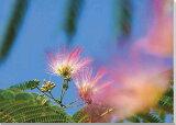 花 ねむの木2 風景写真パネルクロス地 壁飾りやインテリアに美しいねむの木の写真パネルを。ディスプレイ 模様替え タペストリー 風景ポスターに最適。新築祝い 引っ越し祝いプレゼントなどにも。