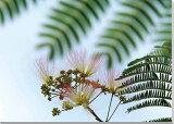 花 ねむの木5 風景写真パネル