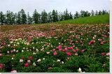 ポスターとは違うそのまま飾れる額のいらないインテリア北海道美瑛の花畑2 風景写真パネル