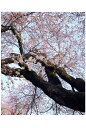 ポストカード5枚で【送料無料】桜/土浦真鍋小学校 茨城美しい桜の名所の風景写真を。花見名所のさくら絵