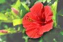 ポストカード5枚で【送料無料】鳩間島5 ハイビスカス 沖縄名所 風景写真 絵はがき クリスマスカード 暑中見舞い 残暑見舞い グリーティングカード