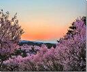 福島平田/花木畑の夕日 桜 風景写真パネル fuk-001-f12 【楽ギフ_包装】