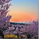 福島平田/花木畑の夕日 桜 風景写真パネル fuk-002-s20 【楽ギフ_包装】