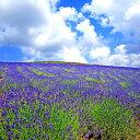 北海道上富良野 日の出ラベンダー園 風景写真パネル 60.6×60.6cm HOK-60-S12  【楽ギフ_包装】 【楽ギフ_のし宛書】 【楽ギフ_名入れ】