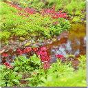 日光千手ヶ浜 クリンソウ 風景写真パネル 60.6×60.6cm NIK-015-S12