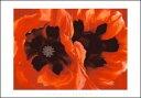 【シルクスクリーン】オリエンタルポピー1928年(700×1000mm) -オキーフ ポスター-