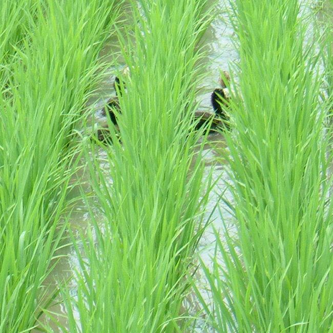 【平成30年産】あいがも 合鴨農法 お米 コシ...の紹介画像2