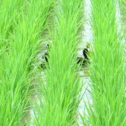 【平成29年産】あいがも農法 お米 コシヒカリ...の紹介画像2