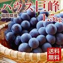 【送料無料】ハウス巨峰 1.5kg 福岡県産 お中元 巨峰 誕生日祝い