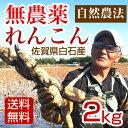 【送料無料】れんこん 無農薬 2キロ 自然農法栽培の白石レンコン お歳暮にも最適