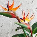 造花 ストレリチア(61500)【観葉植物 フェイクグリーン リゾート アジアン雑貨 ハワイアン雑貨