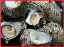 [かいや] 味付け姫さざえ煮貝【10粒】ヒメサザエ煮付け/ 甲州名産 /さざえ/ サザエ/ 栄螺 /煮貝/おせち料理