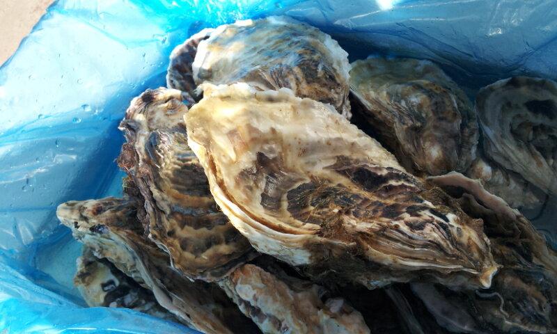 北海道知内産/生牡蠣/M50個/殻付き/生食用(90〜130g目安)