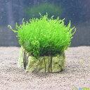【無農薬】水草 フレームモス玄武岩付き