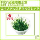 PIXY 組織培養水草 エキノドルステネルスレッド 3個セット