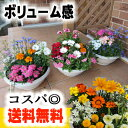 【送料無料※本州のみ】冬から春の季節の花寄せ植え〜「87naviの寄せ植えシリーズ」【アレンジメント】【コスパ◎】【…