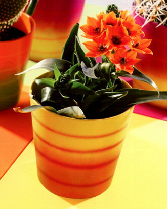 在庫処分ドイツ製鉢カバーダラス・サマーイエロー・オレンジ16cm45号鉢用ハイドロカルチャー(水耕栽