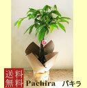観葉植物 パキラ 7号【開店祝い】【新築祝い】【誕生日】【退職祝い】