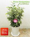 観葉植物 ベンジャミン ニキータ 5号 【開店祝い】【新築祝い】【誕生日】