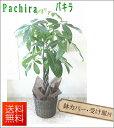観葉植物 パキラ バスケット・鉢皿付き 7号【開店祝い】【新築祝い】【誕生日】