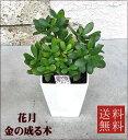 観葉植物 花月 【金のなる木】 4.5号 【開店祝い】【新築祝い】【誕生日】