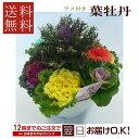 季節の鉢花 ラメ入り☆葉牡丹 葉ボタン
