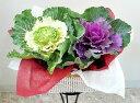 季節の鉢花 寄せかご 【葉ボタン2個セット】