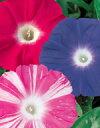 花の種 【サカタ 種】【朝顔】暁の混合(サカタのタネ) 小袋(1ml)【花 種】