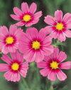 花の種【コスモス】ベルサイユ スペシャル (サカタのタネ) 小袋 2ml【花 種】【サカタ 種】
