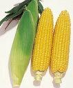 【とうもろこし 種】 野菜の種 スイートコーン キャンベラ90(良質強甘味種)(タキイ種苗) 200粒入 【02P03Dec16】