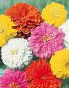 百日草(ジニア)種子 サカタのタネ サカタ 種 花の種 ダリア咲き混合 小袋