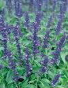 サルビア種子 サカタのタネ 花の種 ファリナセアビクトリアブ...