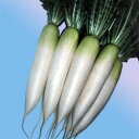 【大根 種】【春まきダイコン】 春岬(はるみさき) (渡辺農事)小袋【野菜の種】
